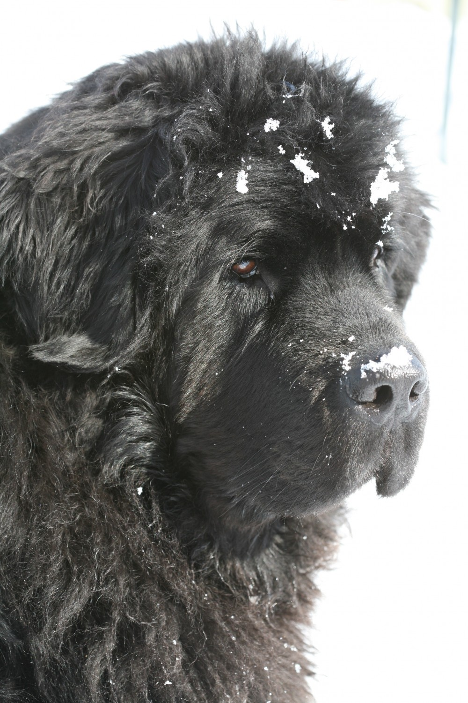 a close up of Jo, one of Virginia's Newfoundlands